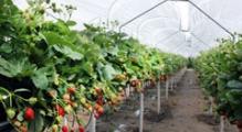 Rynny uprawowe do truskawek